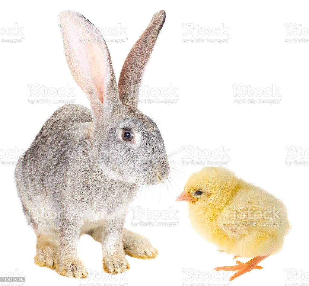 rabbit and chick royalty-free stock photo