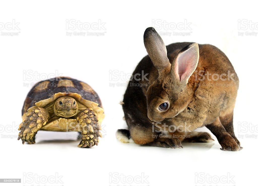 rabbit and  turtle  on a white background stock photo