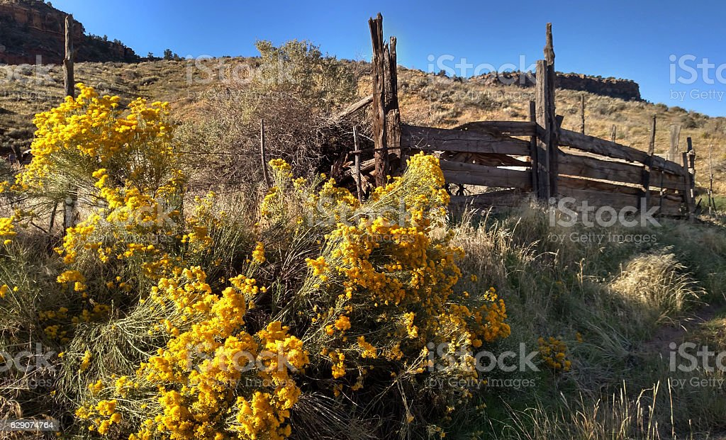 Rabbit bush yellow flowers autumn old corral fence Rockville Utah stock photo