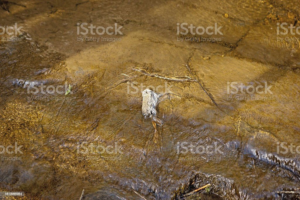 Rabbit carcase in a river royalty-free stock photo