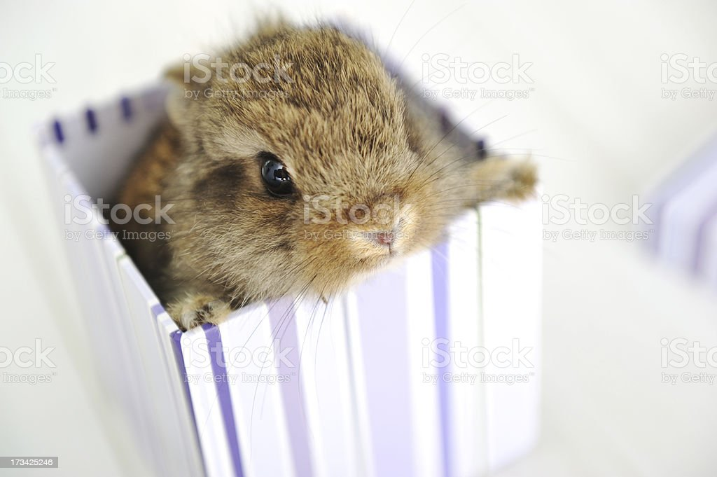 Rabbit cute baby as surprise in box royalty-free stock photo
