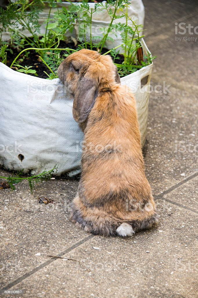 Rabbit eating carrot tops in garden royalty-free stock photo