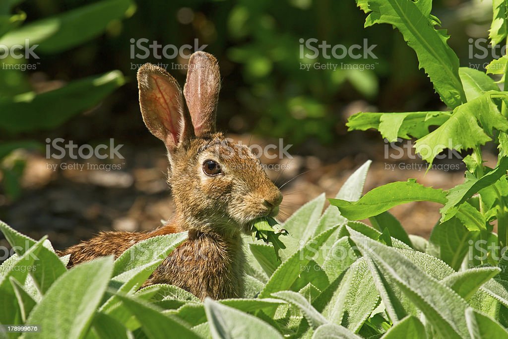 Rabbit Eating Greens In The Garden stock photo