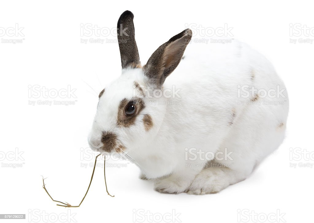 Rabbit eating pangola grass isolated on white stock photo