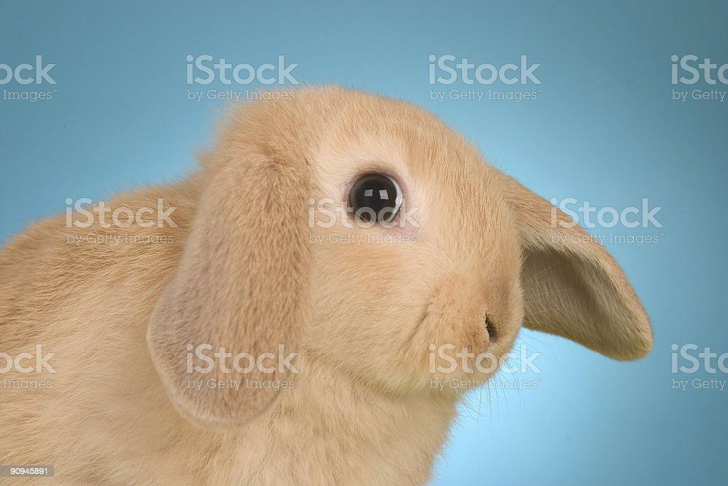 Rabbit Eye royalty-free stock photo