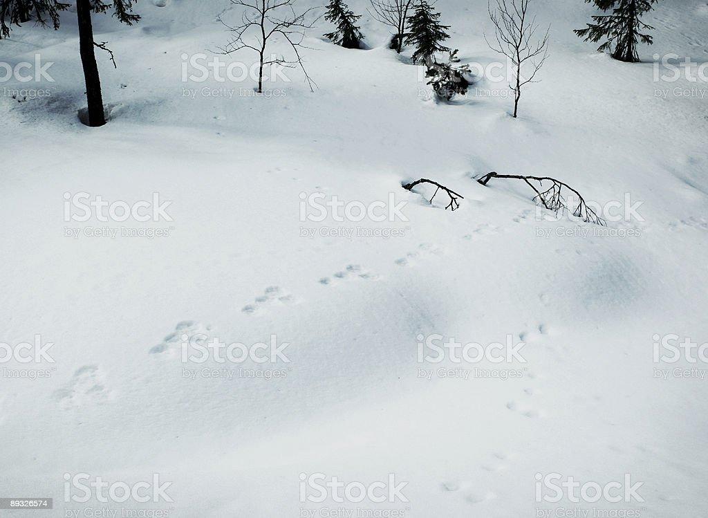 Rabbit footprints in snow royalty-free stock photo