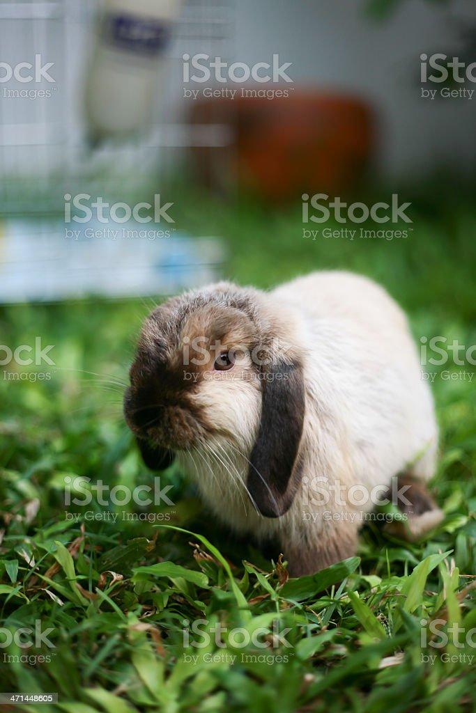Rabbit Holland lop stock photo