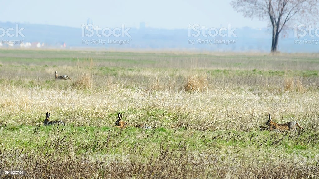 Rabbit hunt over the meadow stock photo