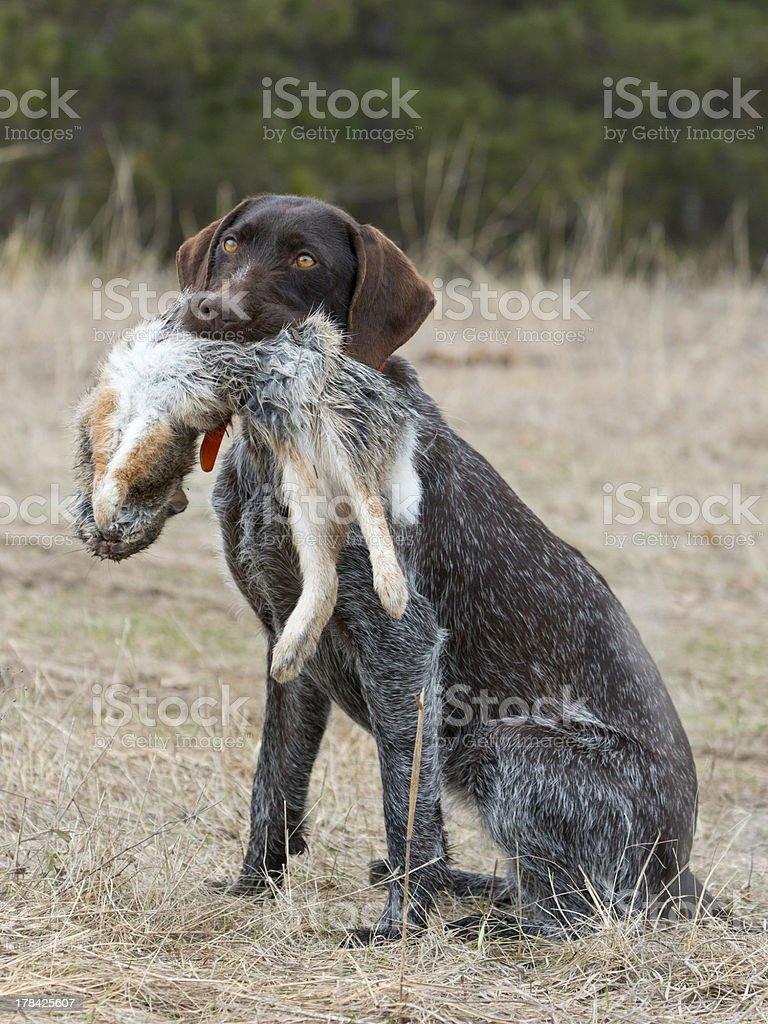 Rabbit Hunting stock photo