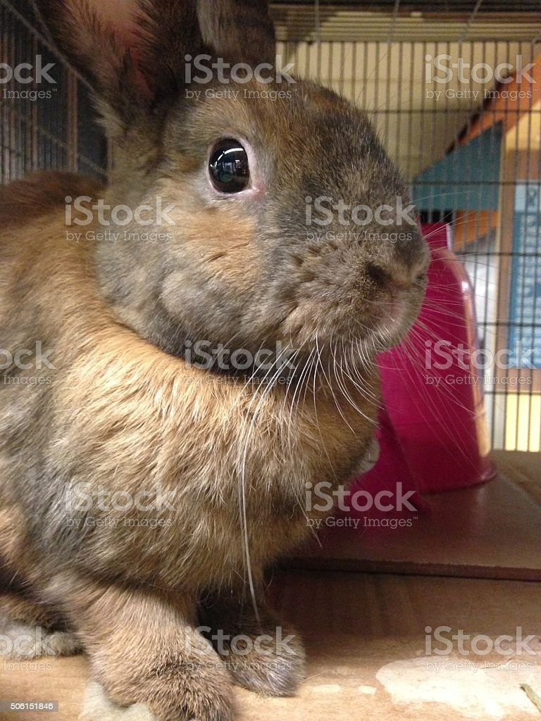 Rabbit in a Cage. stock photo