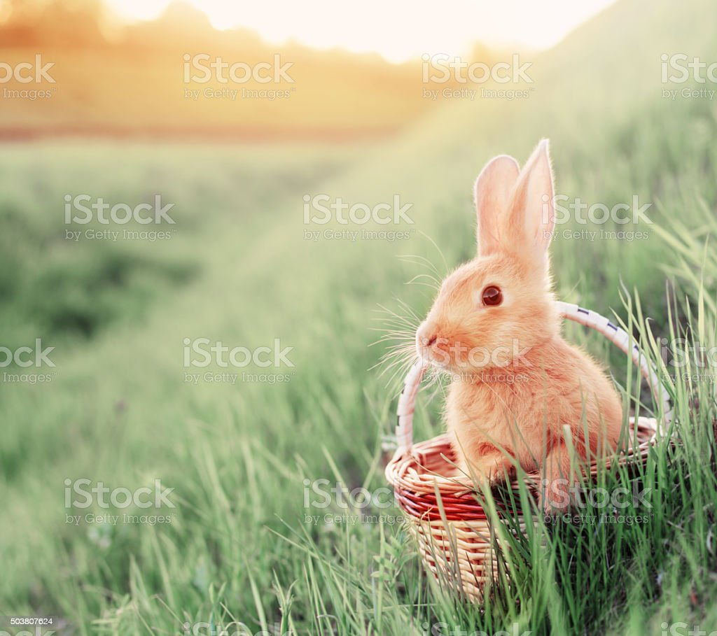 rabbit in basket outdoor stock photo
