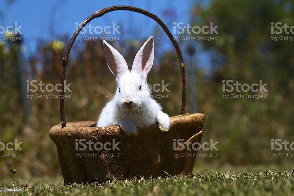 rabbit in basket royalty-free stock photo