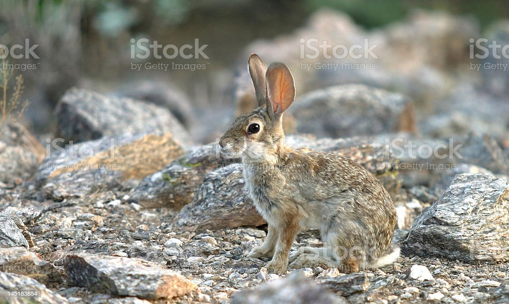 Rabbit in camouflage royalty-free stock photo