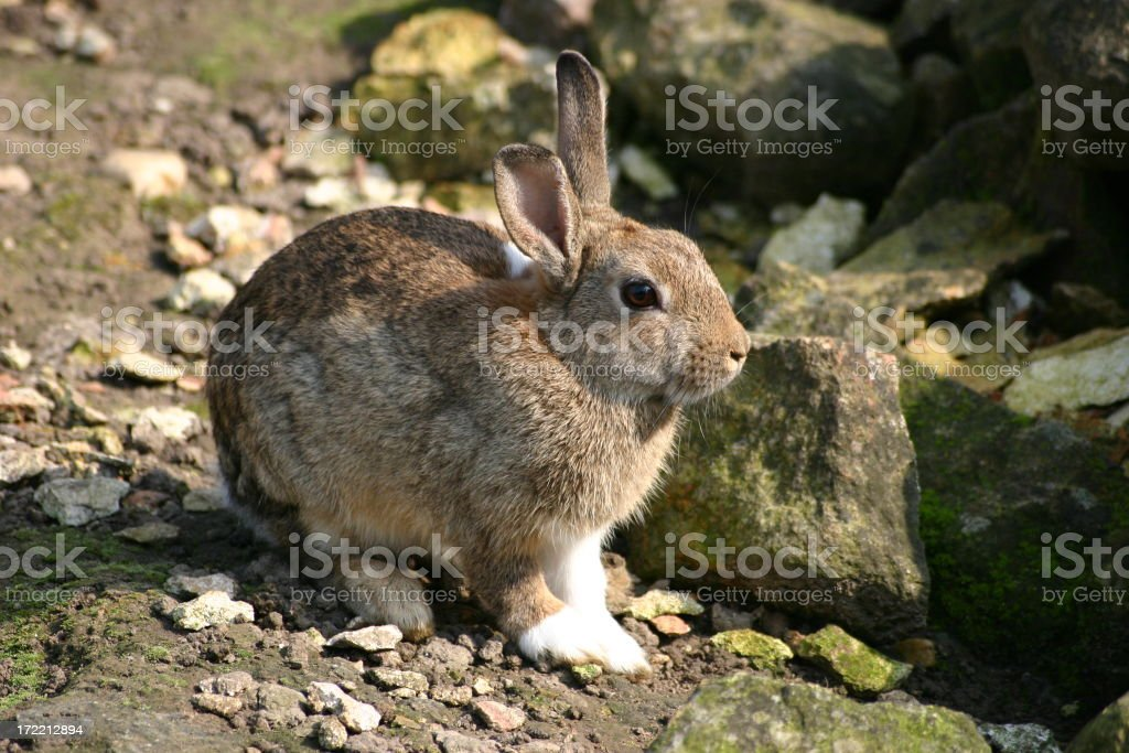 Rabbit in wildlife royalty-free stock photo
