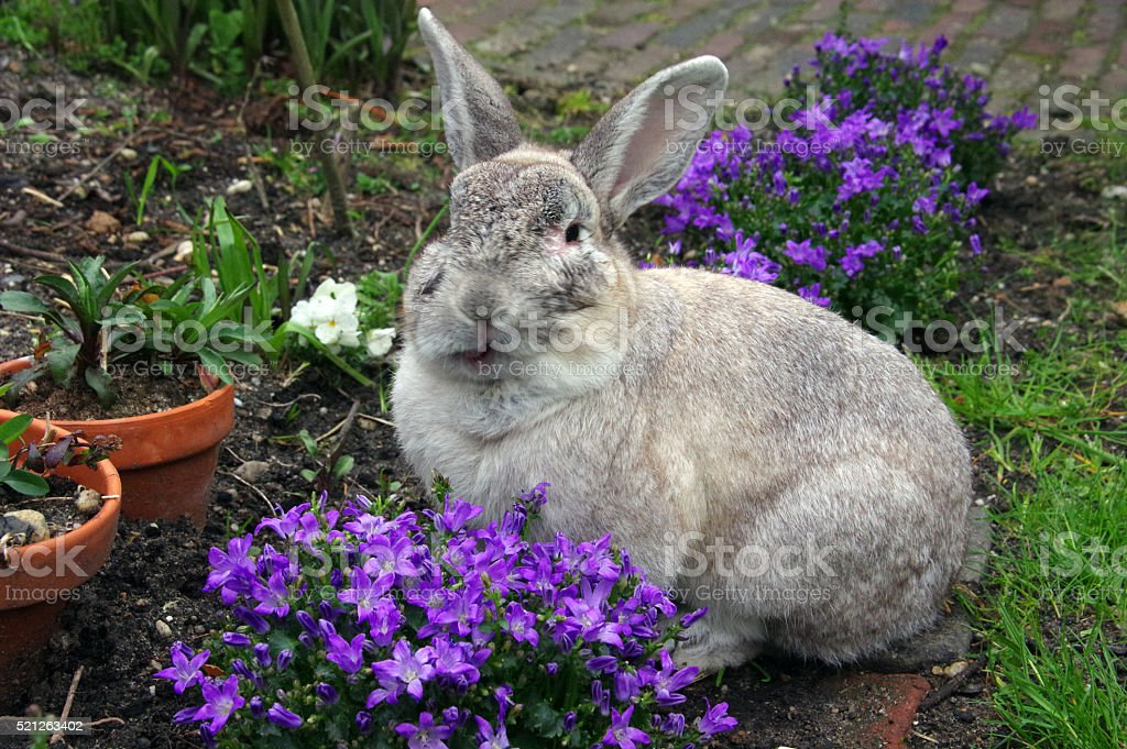 Rabbit is eating garden flowers stock photo