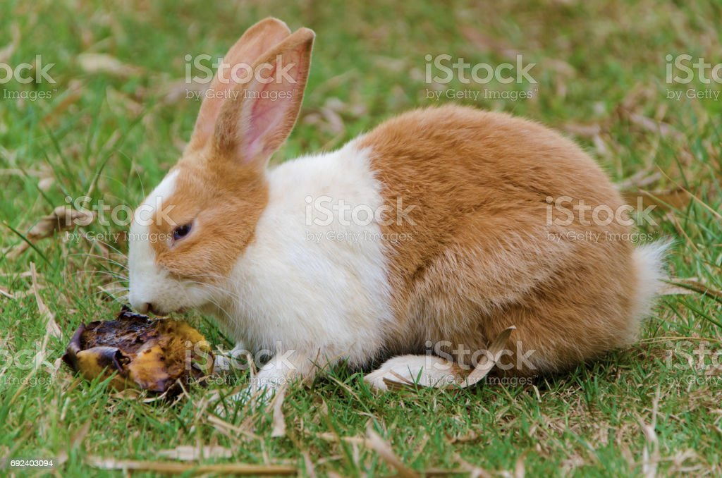 Rabbit is sniffing stock photo