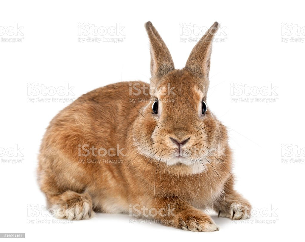 Rabbit lying and looking at camera against white background stock photo