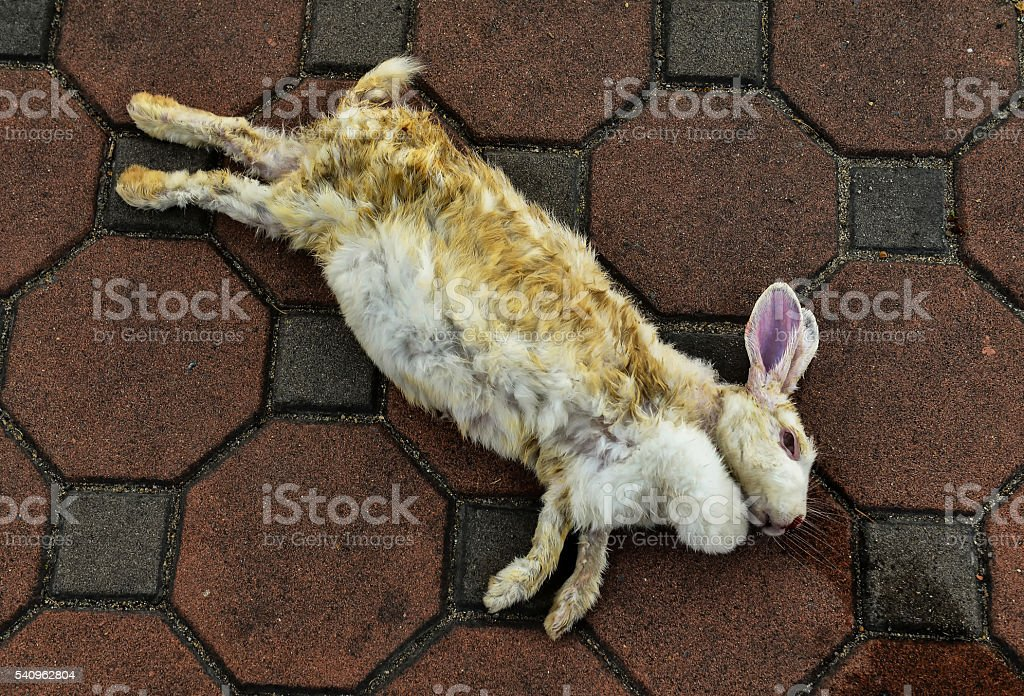 Rabbit lying dead on the floor. stock photo
