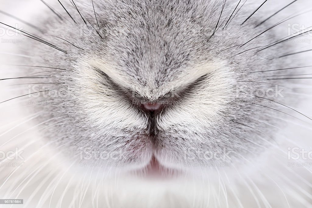 rabbit mouth and nose stock photo