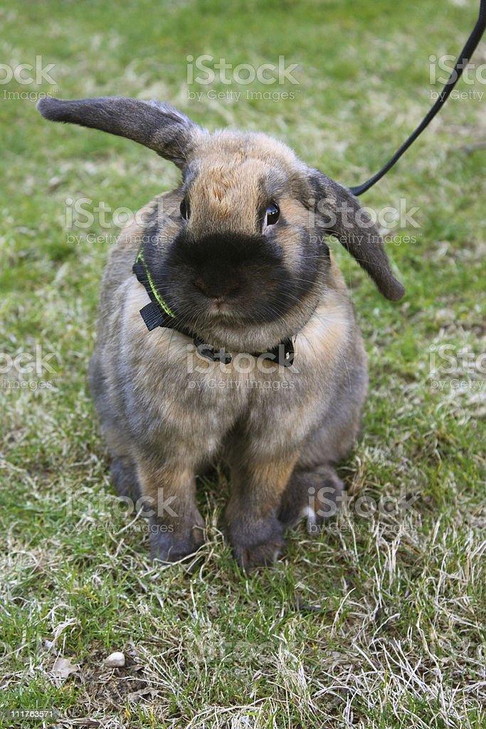 Rabbit on a Leash stock photo