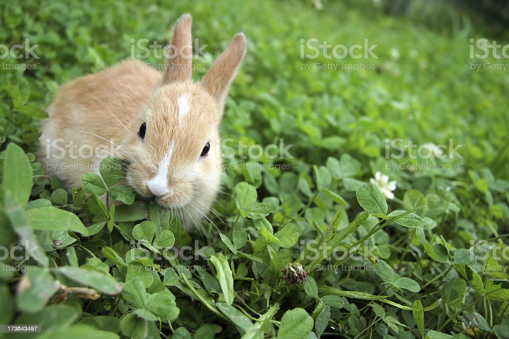 Rabbit on clovers. royalty-free stock photo
