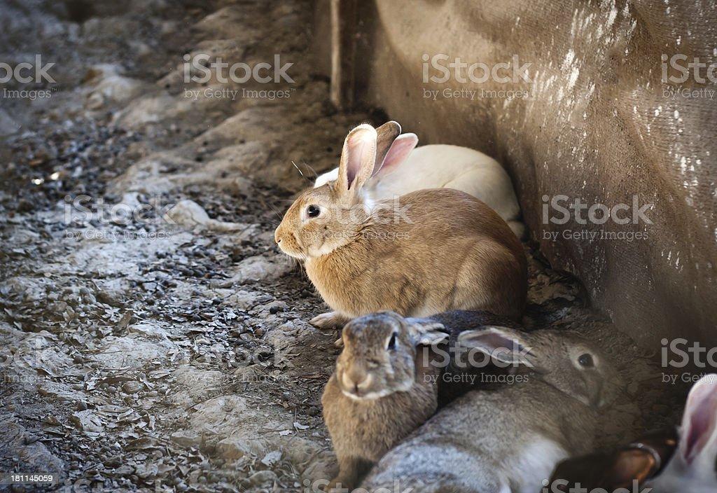 Rabbit on the ground royalty-free stock photo