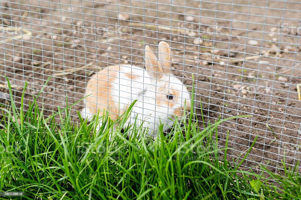 Rabbit outdoors in enclosure stock photo