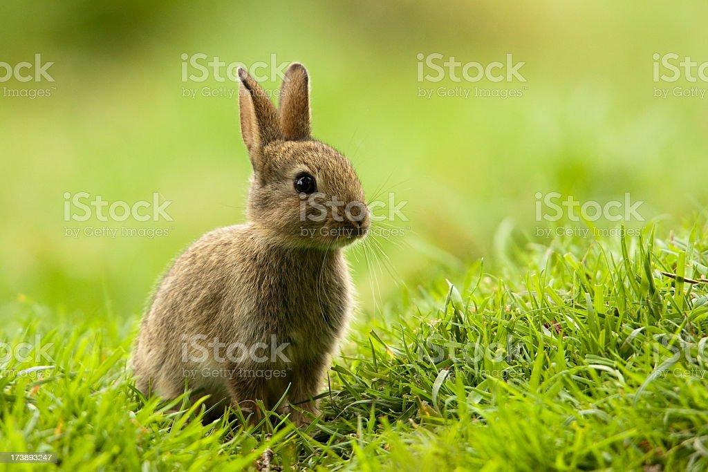 Rabbit (Oryctolagus cuniculus) royalty-free stock photo