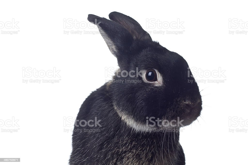Rabbit royalty-free stock photo