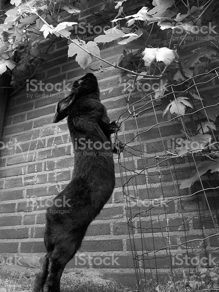 Rabbit reaching for grapes royalty-free stock photo
