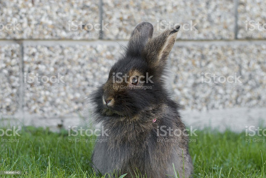 rabbit sitting in the lawn royalty-free stock photo