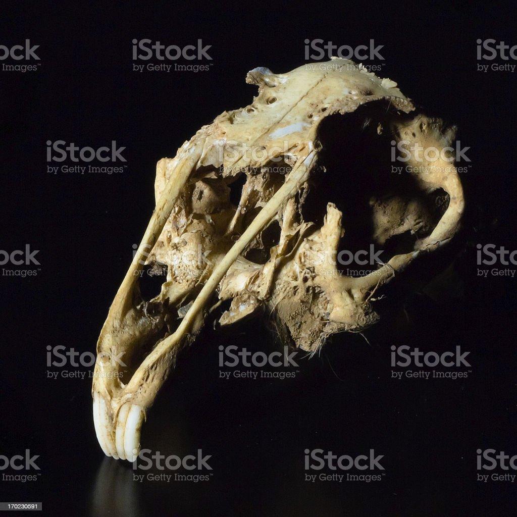 Rabbit skull royalty-free stock photo