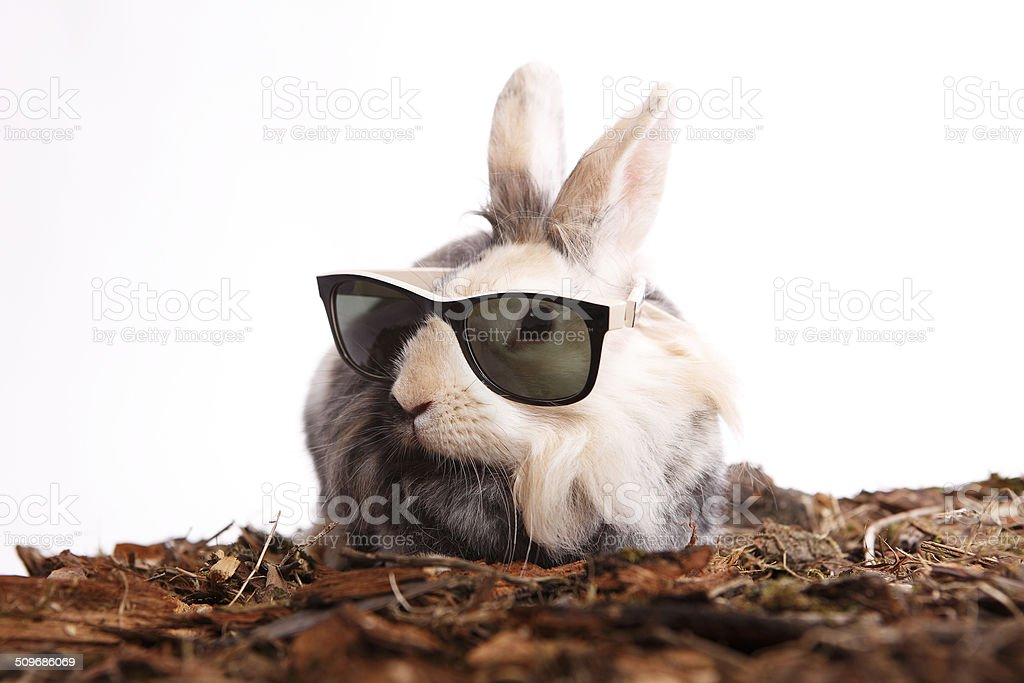 Rabbit with sun glasses stock photo