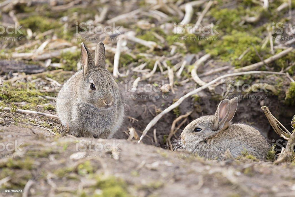 Rabbits at burrow stock photo
