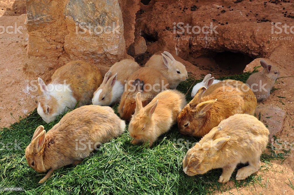 rabbits feeding on grass and rabbit hole stock photo