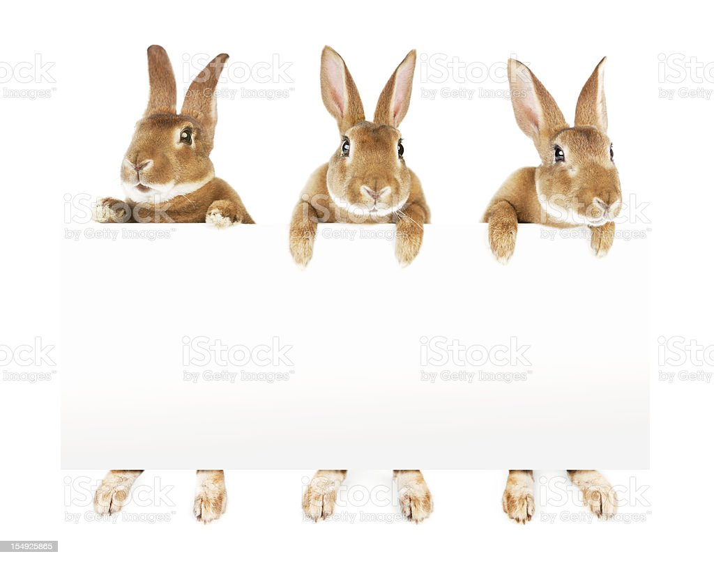 Rabbits holding a banner royalty-free stock photo