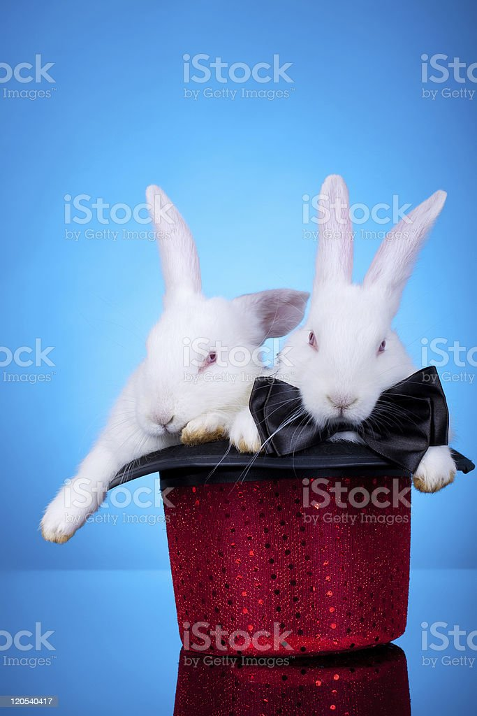 rabbits in a hat royalty-free stock photo