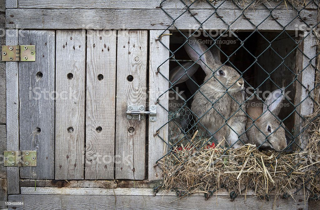 Rabbits in a hutch royalty-free stock photo