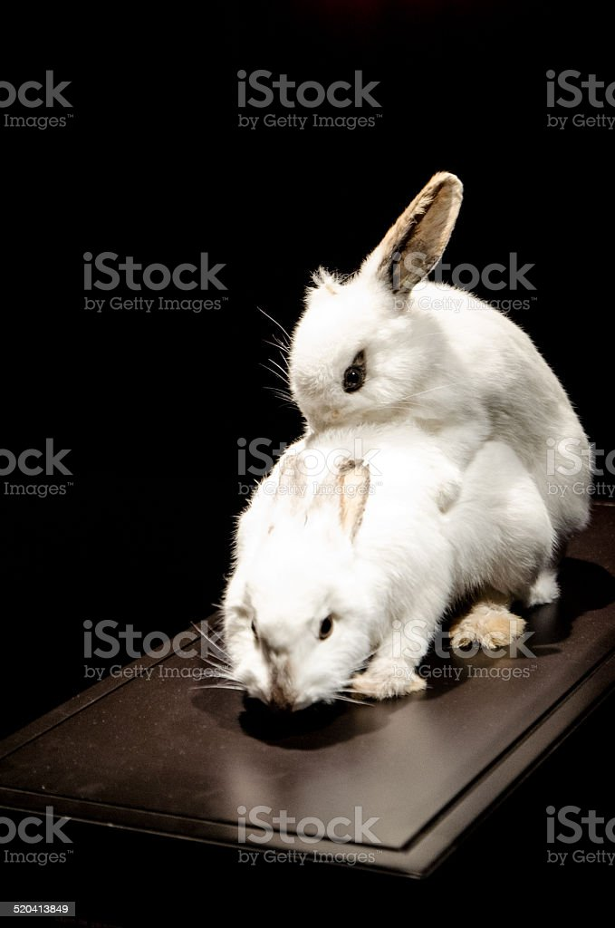 Rabbits in action stock photo