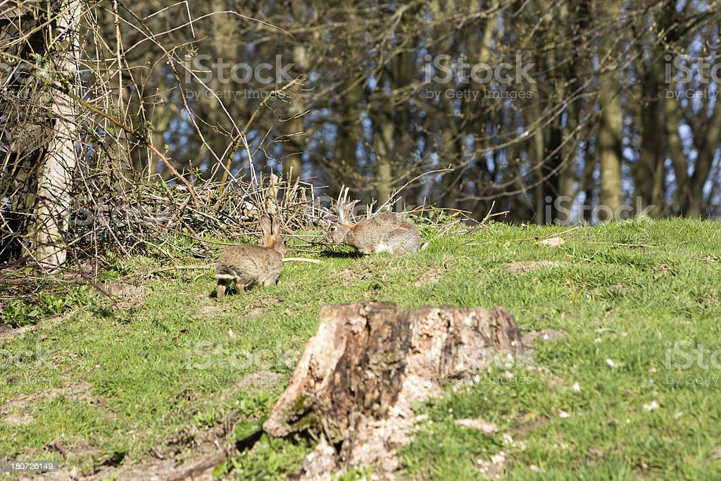 Rabbits near Chiddingstone in Kent, England royalty-free stock photo