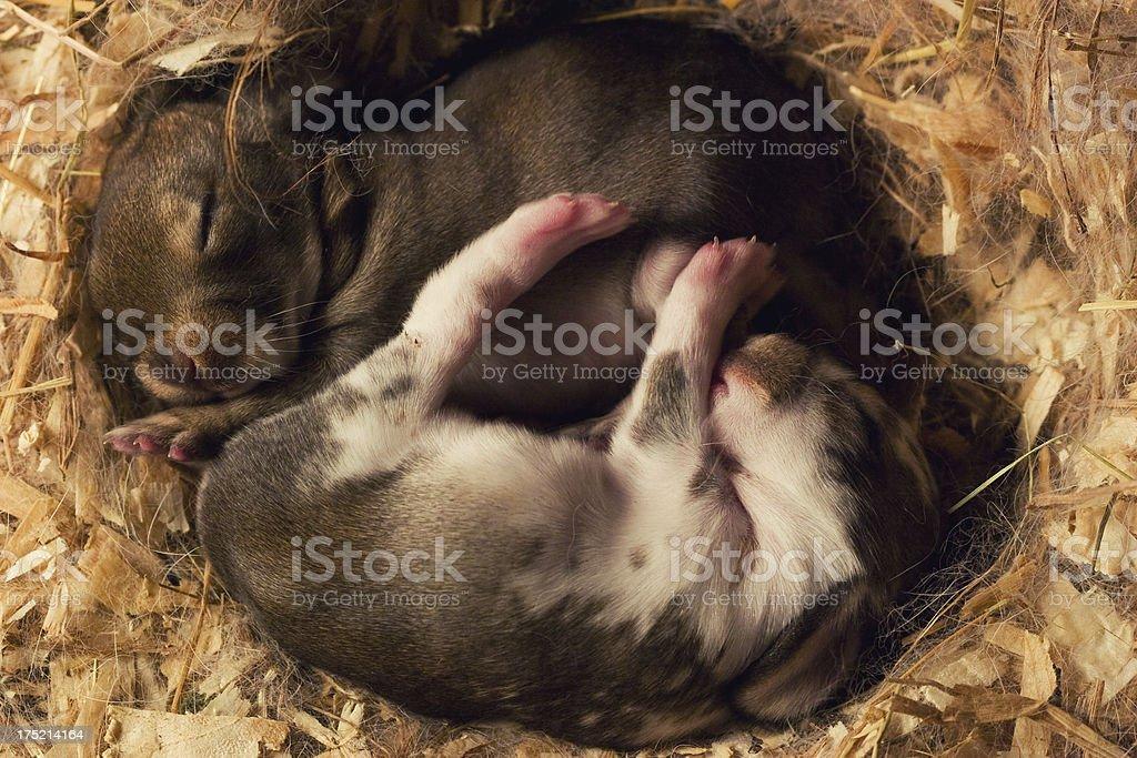 Rabbits royalty-free stock photo