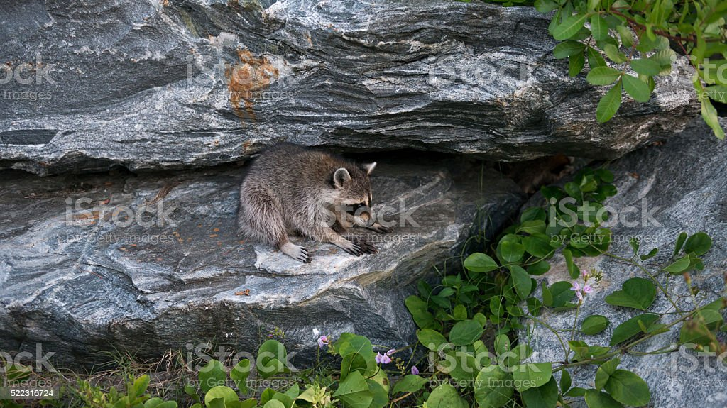Raccoon at Jetty Park, Port Canaveral, Florida stock photo