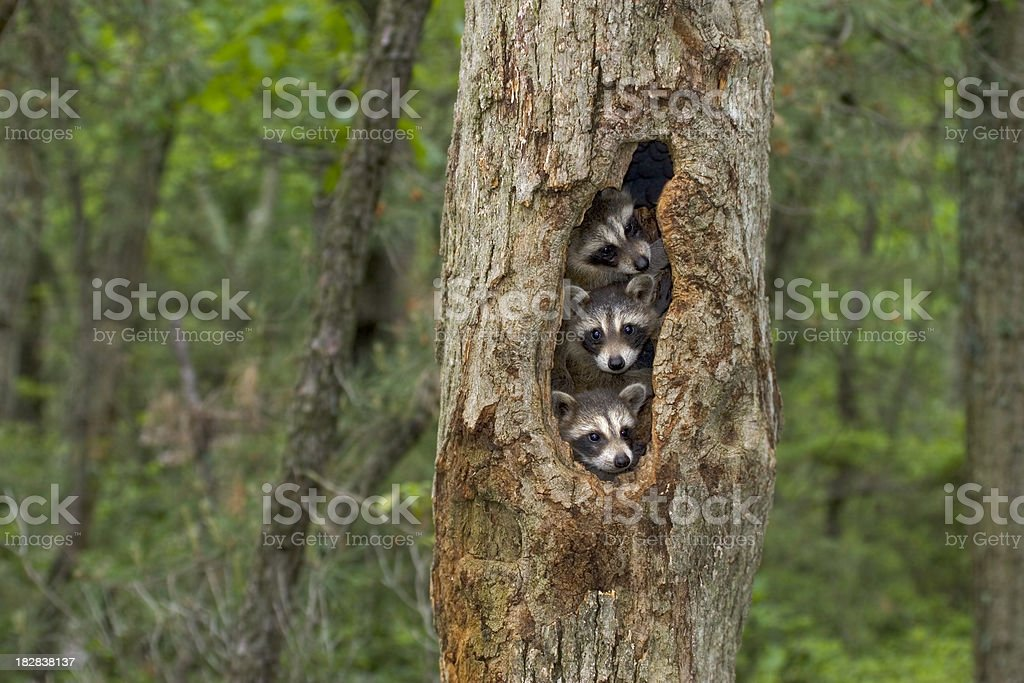 Raccoon babies huddled together in their tree home stock photo