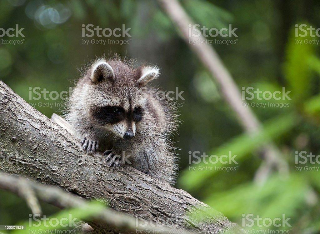 Raccoon Baby royalty-free stock photo
