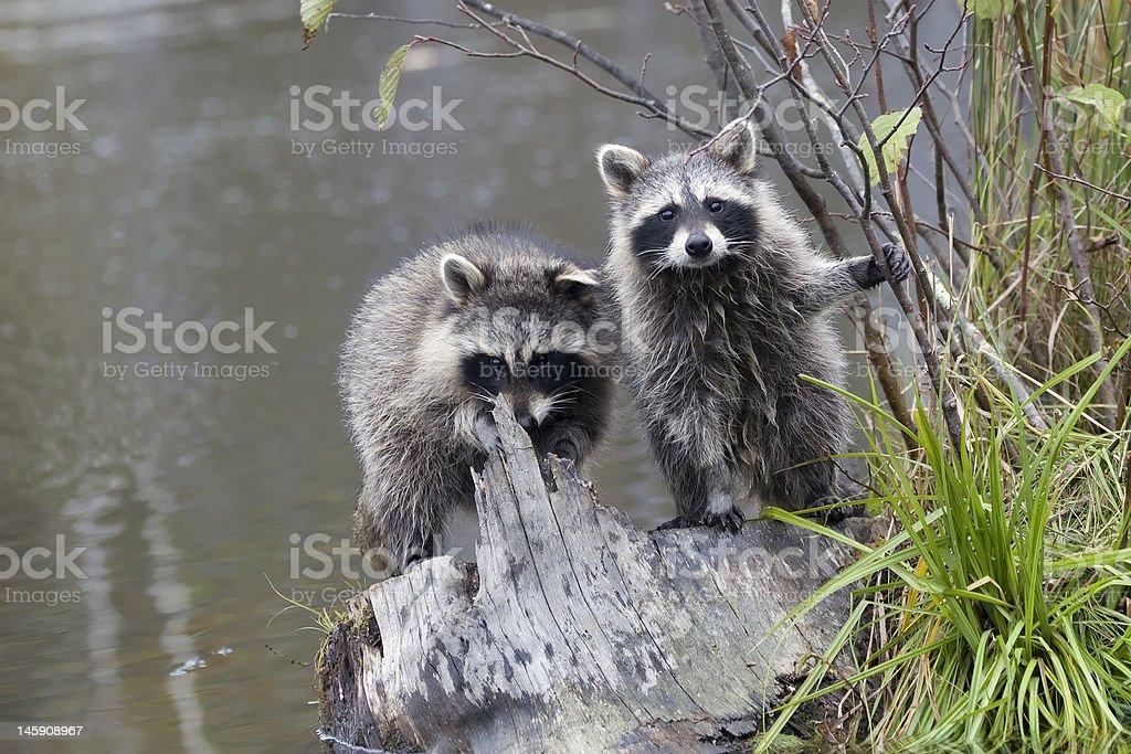 Raccoon Buddies royalty-free stock photo