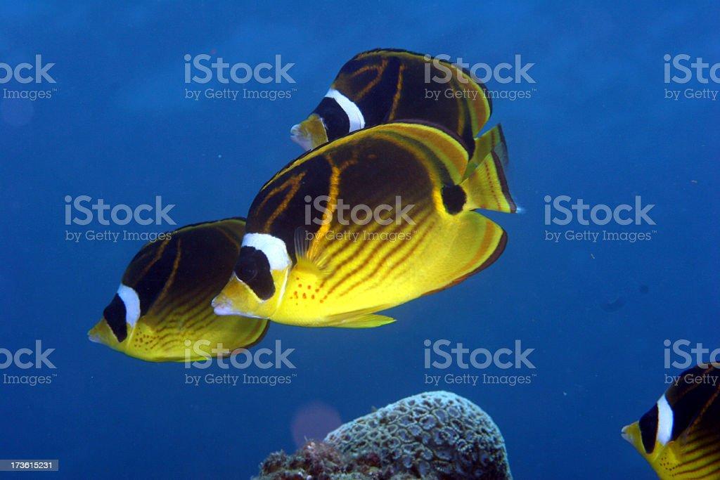 Raccoon Butterfly Fish Squadren stock photo