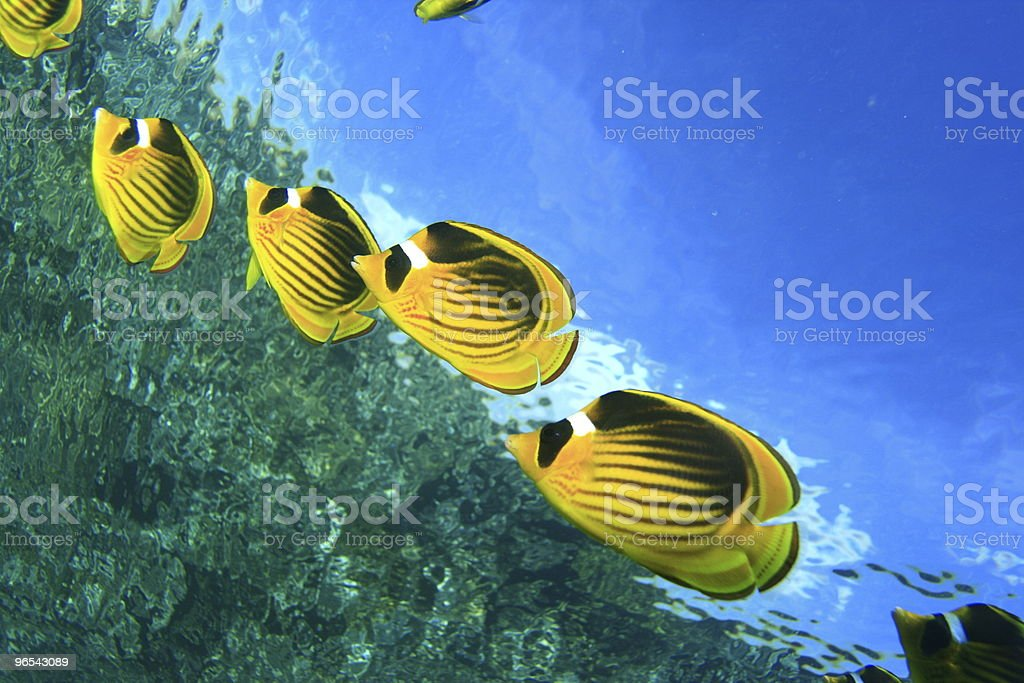 Raccoon Butterflyfishes stock photo