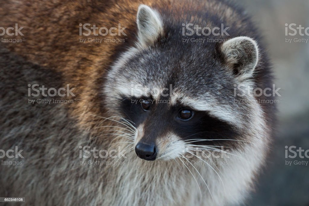 Raccoon close-up portrait stock photo