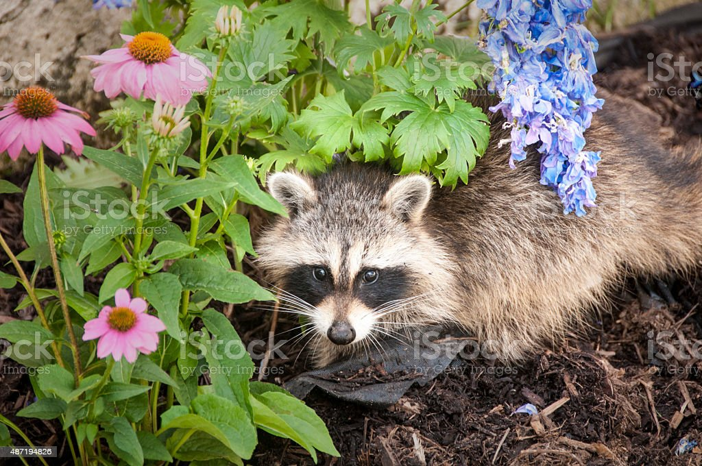 Raccoon digging for food in a garden stock photo