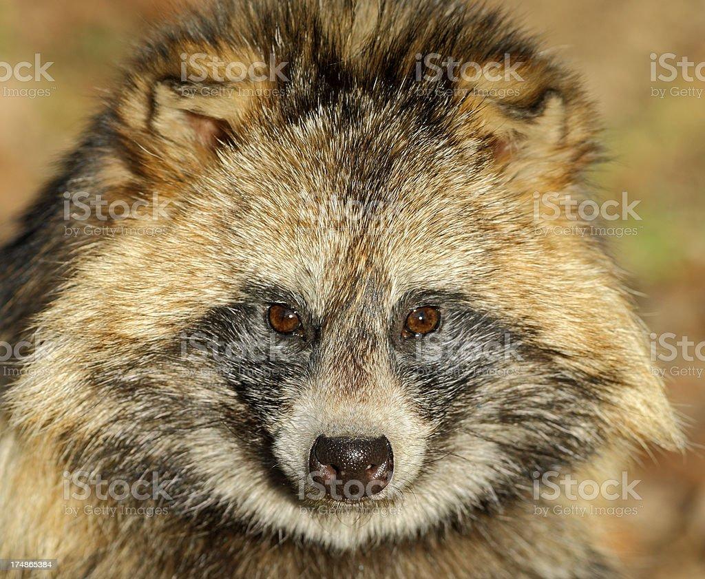 Raccoon Dog (Nyctereutes procyonoides) royalty-free stock photo